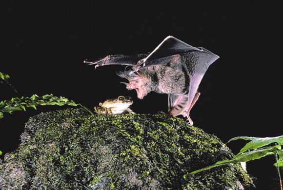 Рис. 3. Летучая мышь Trachops cirrhosus пикирует на тунгарскую лягушку (pagelab.wixsite)