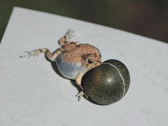 Рис. 4. Лягушка-робот, совсем как настоящая (combbe.cns.utexas.edu)