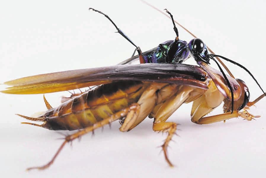 Рис. 1. Американский таракан и его паразитоид — изумрудная тараканья оса [2]