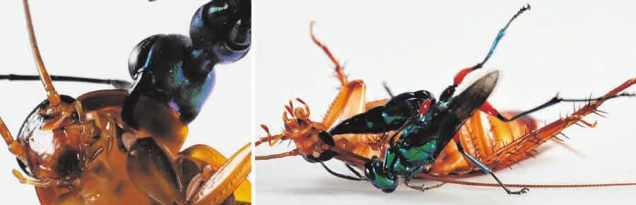 Рис. 2. Оса вцепилась челюстями в пронотум таракана (слева) и старается ужалить его в голову (справа) [2]
