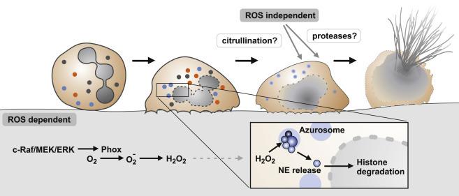 Процесс создания и выбрасывания «токсичной сети» у нейтрофила. Илл. из статьи Sollberger G.