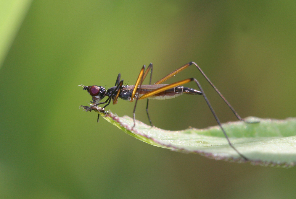 Самка Micropeza brevipennis, обитатель луговых степей. Фото Н. Вихрева
