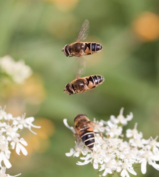 Брачное поведение мух Eristalis interrupta: самка на цветке, самцы зависли над ней. Фото Brigitte Umberg