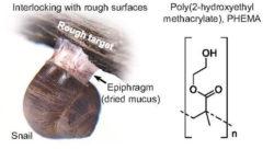 A. Образующаяся при высыхании слизи улитки эпифрагма удерживает животное на неровной поверхности. B. Строение структурного звена полимера PHEMA. Илл. из [1]