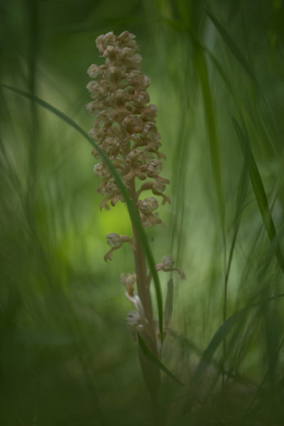 Гнездовка настоящая (Neottia nidus-avis)