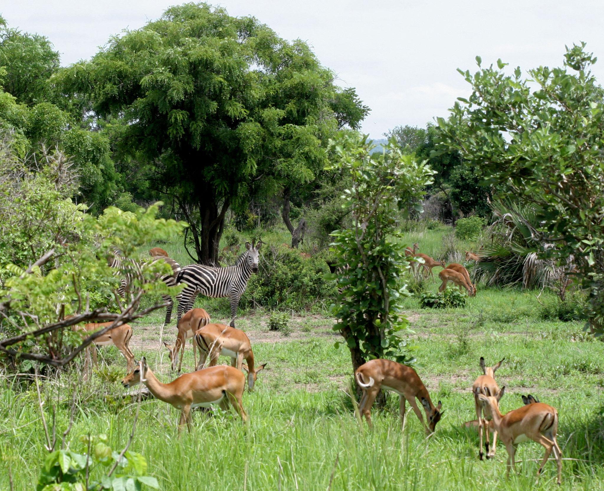 Саванна, Микуми, Танзания. Импалы и зебра. Фото Н. Вихрева