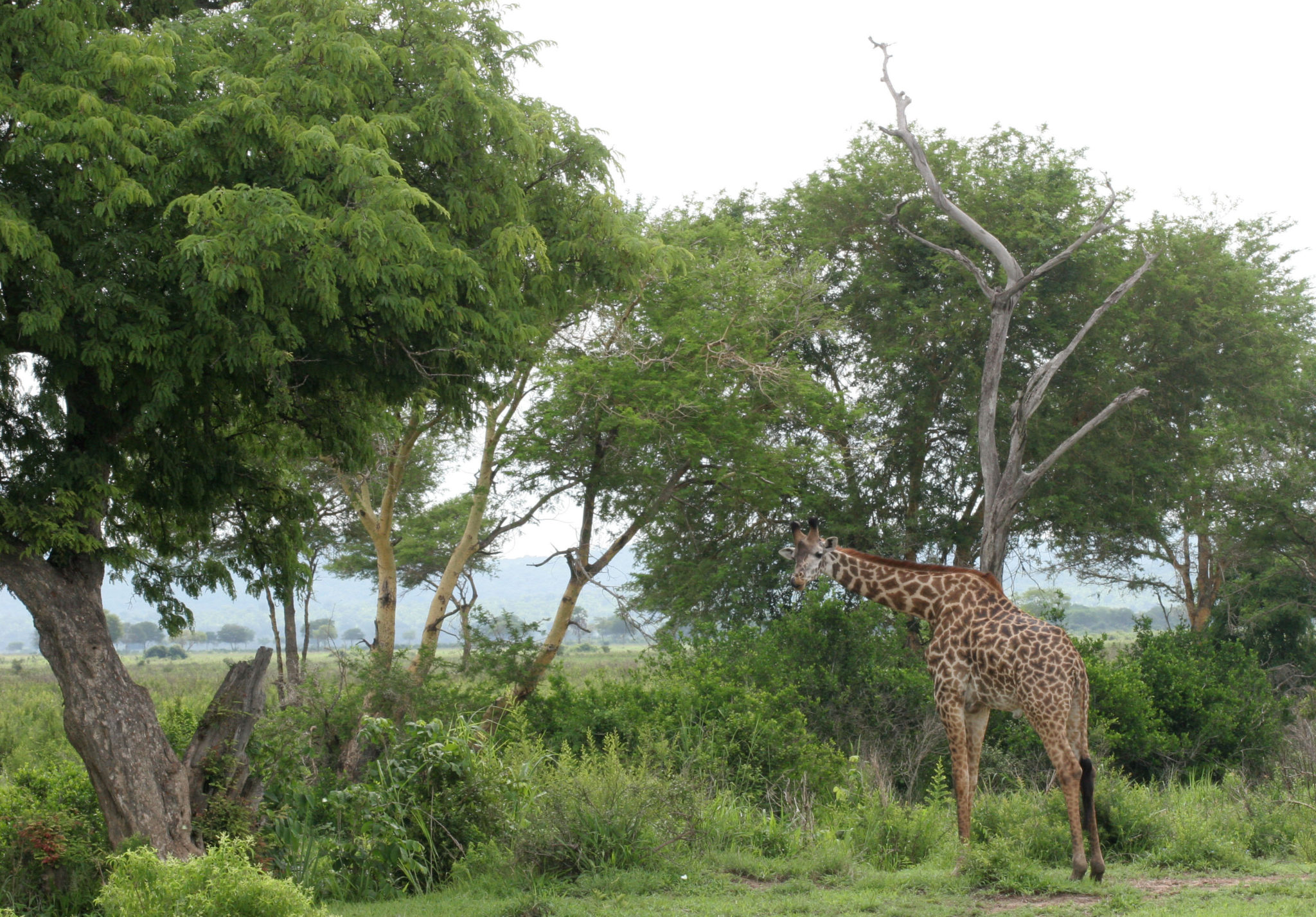 Саванна, Микуми, Танзания. Жираф. Фото Н. Вихрева
