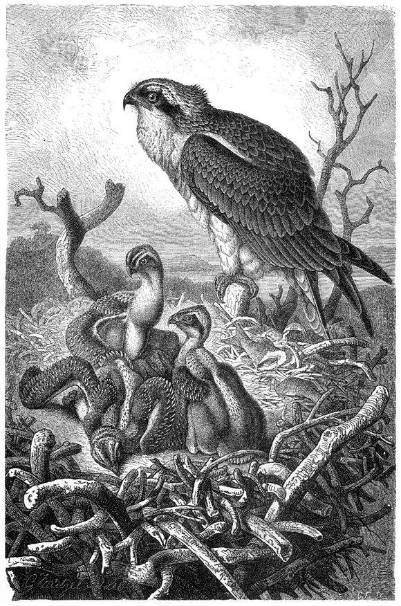 Скопа. Гравюра из кн. А. Брэма «Иллюстрированная жизнь животных…»