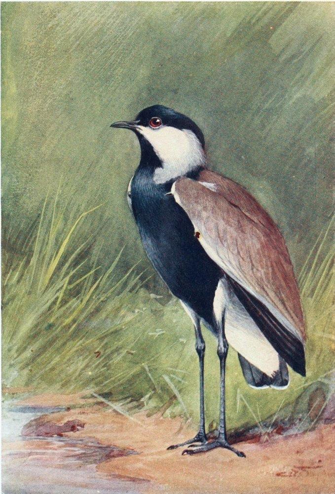 Шпорцевый чибис. Илл. Ч. Уимпера, 1909 год