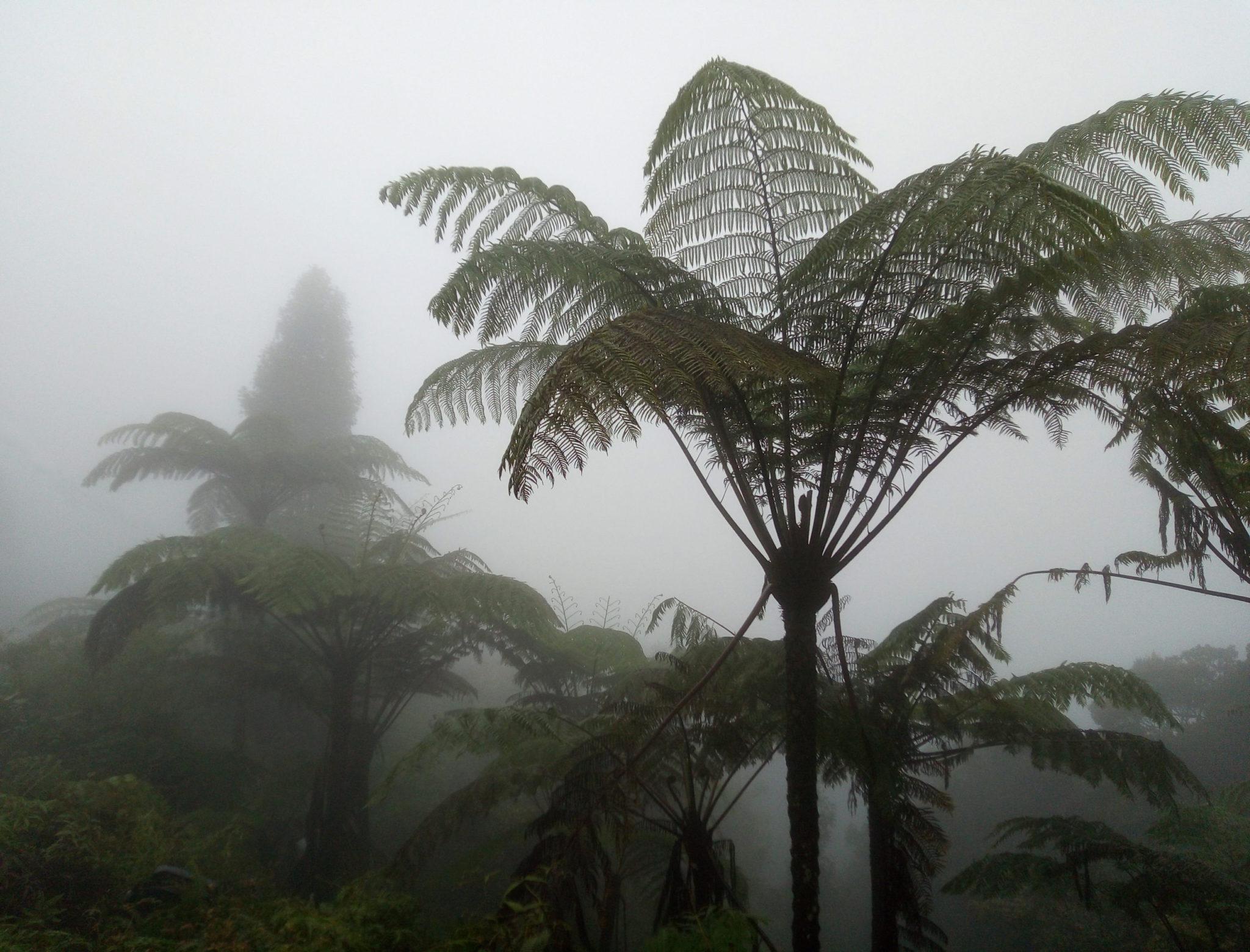 Вот кому в облаке уютно. Горы Малайзии (полуостровной и Борнео) — центр биоразнообразия древовидных папоротников