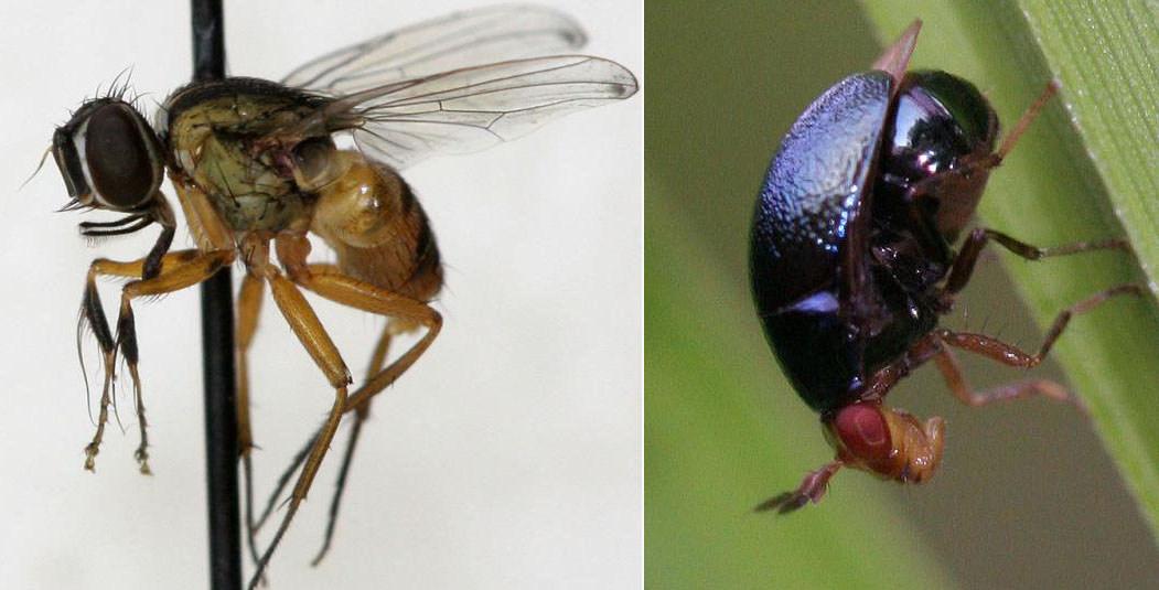 Слева: Самец Atherigona pendleburyi, не знаю, как на самок, но на энтомолога его видоизмененные передние ноги-клёш производят впечатление. Справа:  «Жукомуха» Spaniocelyphus palmi, пол по фото сказать не могу, в семействе Celyphidae успешно решен вопрос гендерного равенства