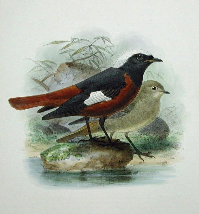 Краснобрюхая горихвостка (Phoenicurus erythrogaster), по изданию Генри Дрессера