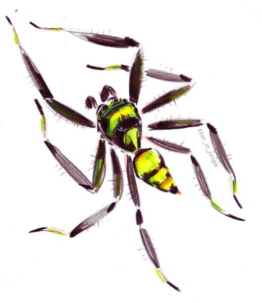 Самец паука Phintella vittata (нацпарк Каттиен)