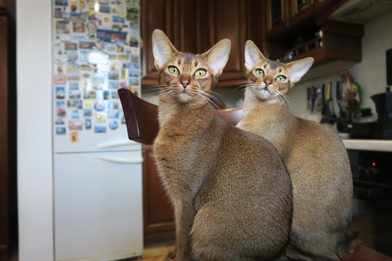Абиссинские кошки. needpix.com