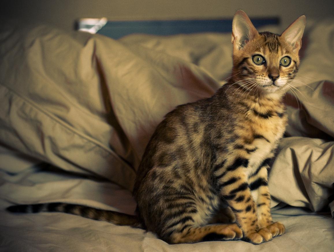 Бенгальская кошка. «Википедия»