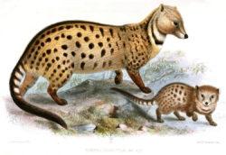 Ранее малабарская цивета (Viverra civettina) рассматривалась как подвид крупнопятнистой циветы (Viverra megaspila). Рисунок из ежегодника «Труды Зоологического общества Лондона» за 1876 год