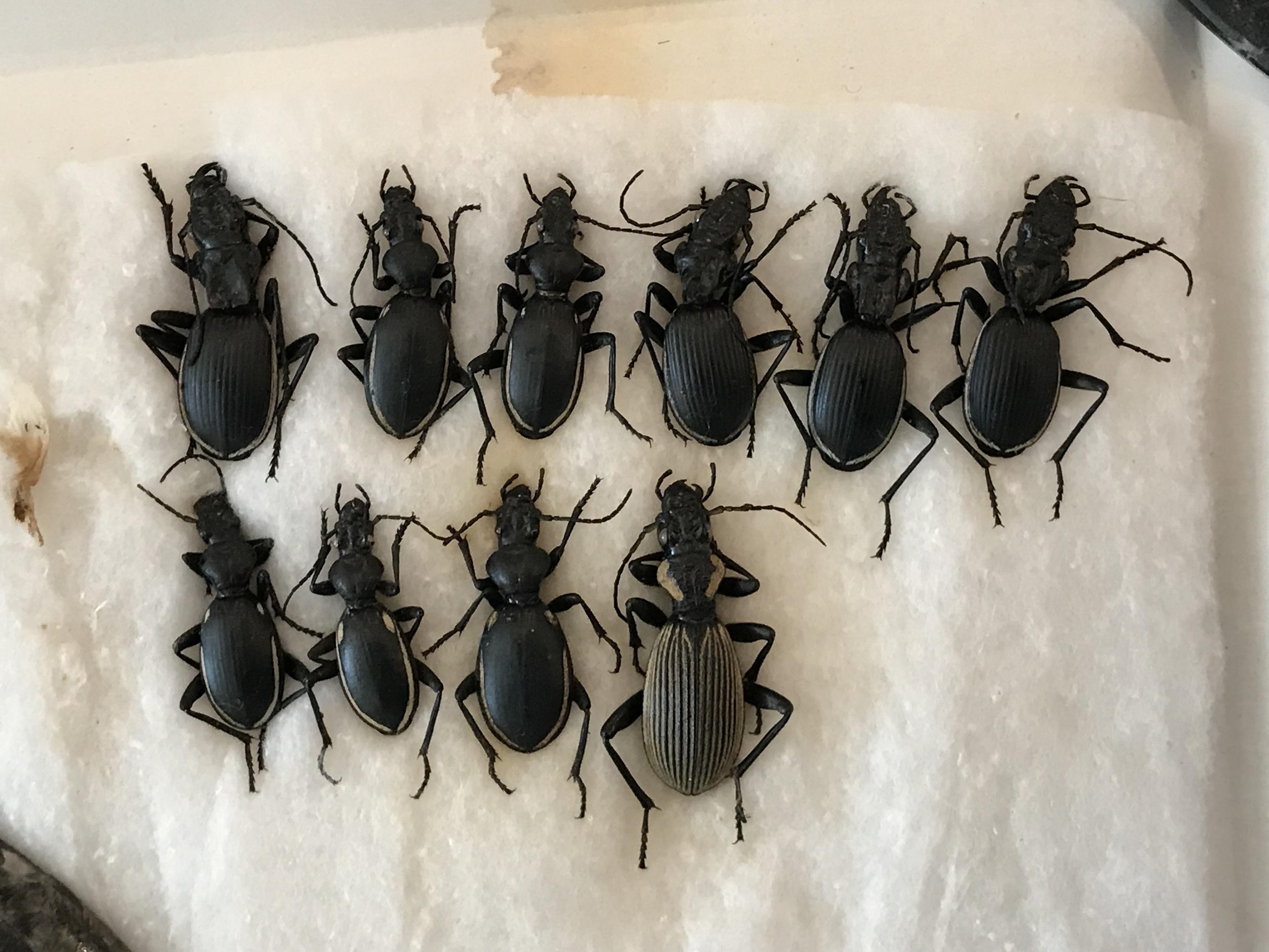 Жуки рода Anthia из Намибии. Фото автора