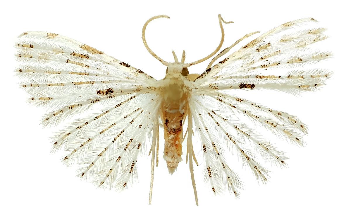Веерокрылка Удовиченко (Alucita udovichenkoi) из ЮАР. Фото С. Решетникова