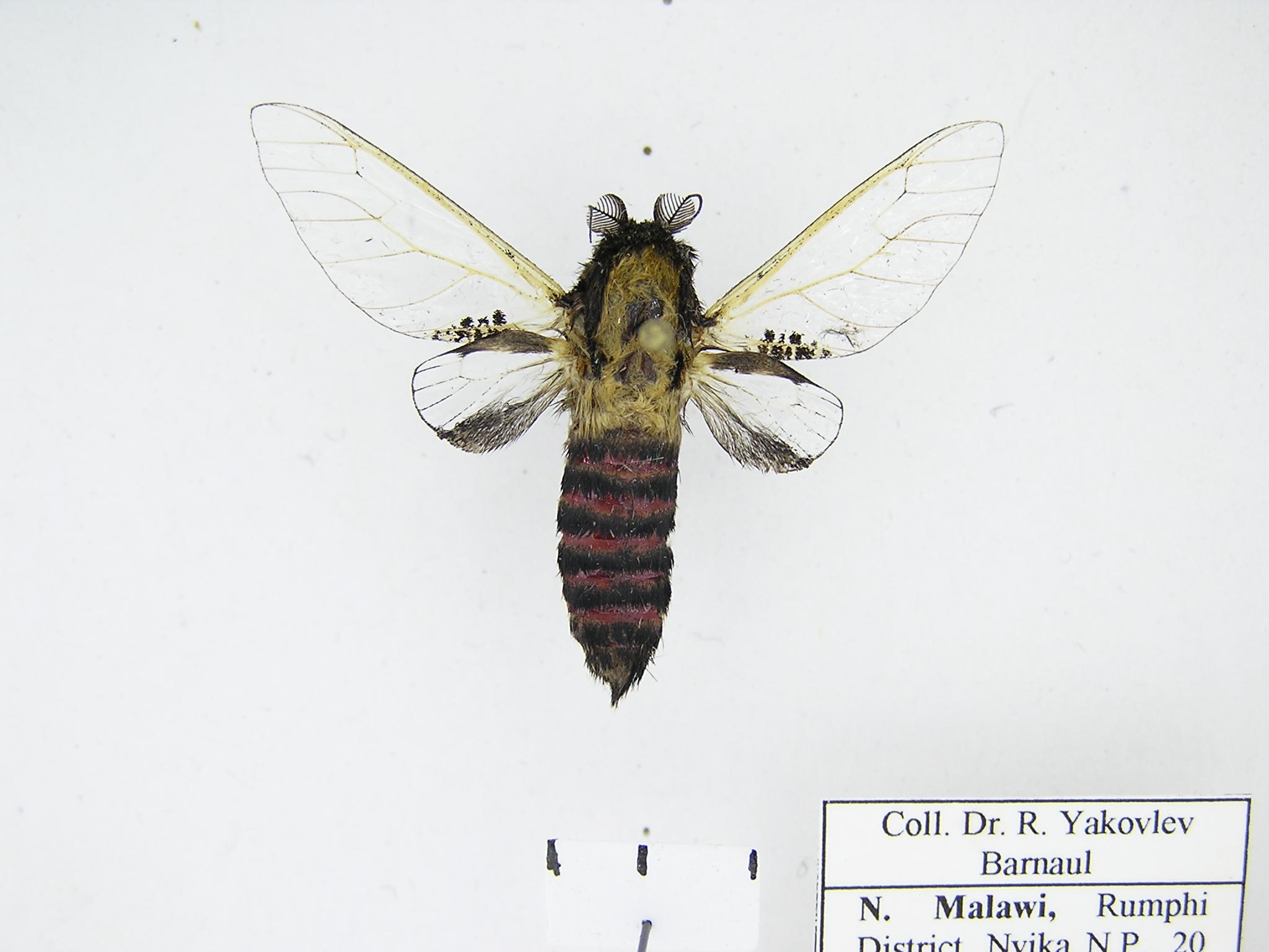 Древоточец муравьевидный (Eulophonotus myrmeleon) из Зимбабве. Фото автора
