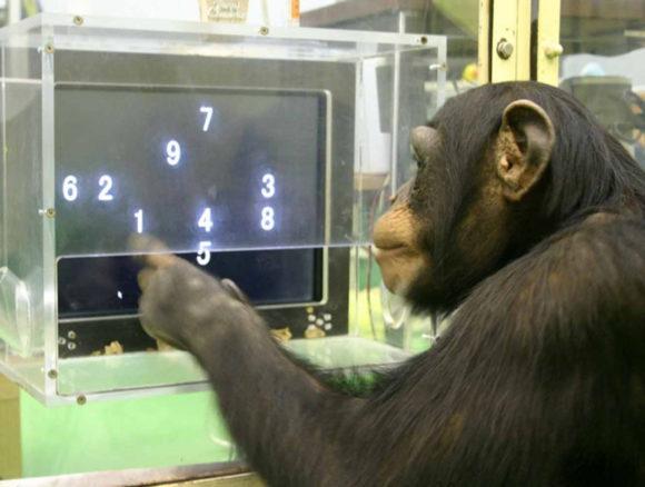 Аюму блестяще справляется с заданием (c сайта Primate Research Institute, Kyoto University)