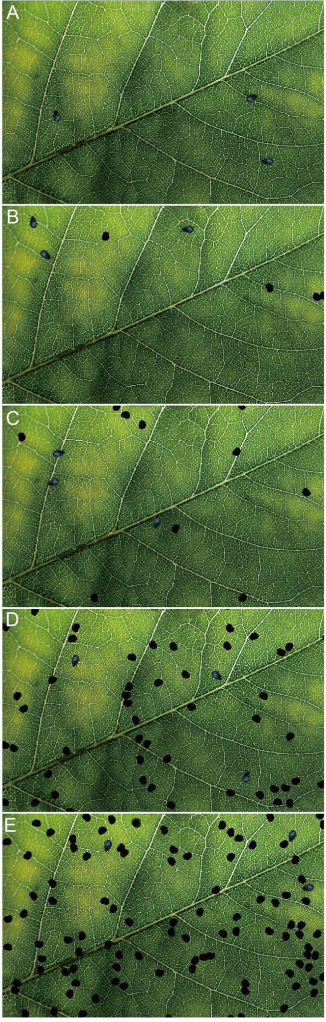 Рис. 2. Найдите трех жуков на листьях с 0, 5, 10, 50 и 100 отверстиями. Площадь отверстия равна площади тела жука [1]