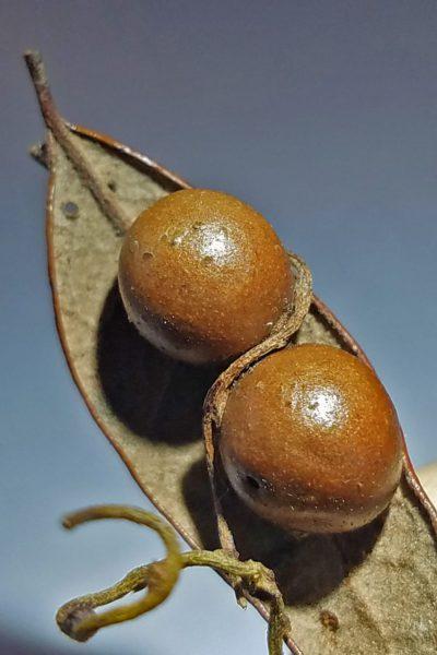 Рис. 2. Два галла, образованных осой Belonocnema treatae на нижней стороне дубового листа. Паразитическая лиана присосалась к обоим, но не к листовой пластинке (news.rice.edu)