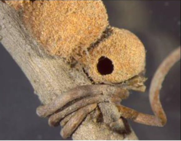 Рис. 3. Кассита несколько раз обвилась вокруг стебля дуба перед многокамерным галлом осы C. quercusbatatoides (Egan et al., 2018)