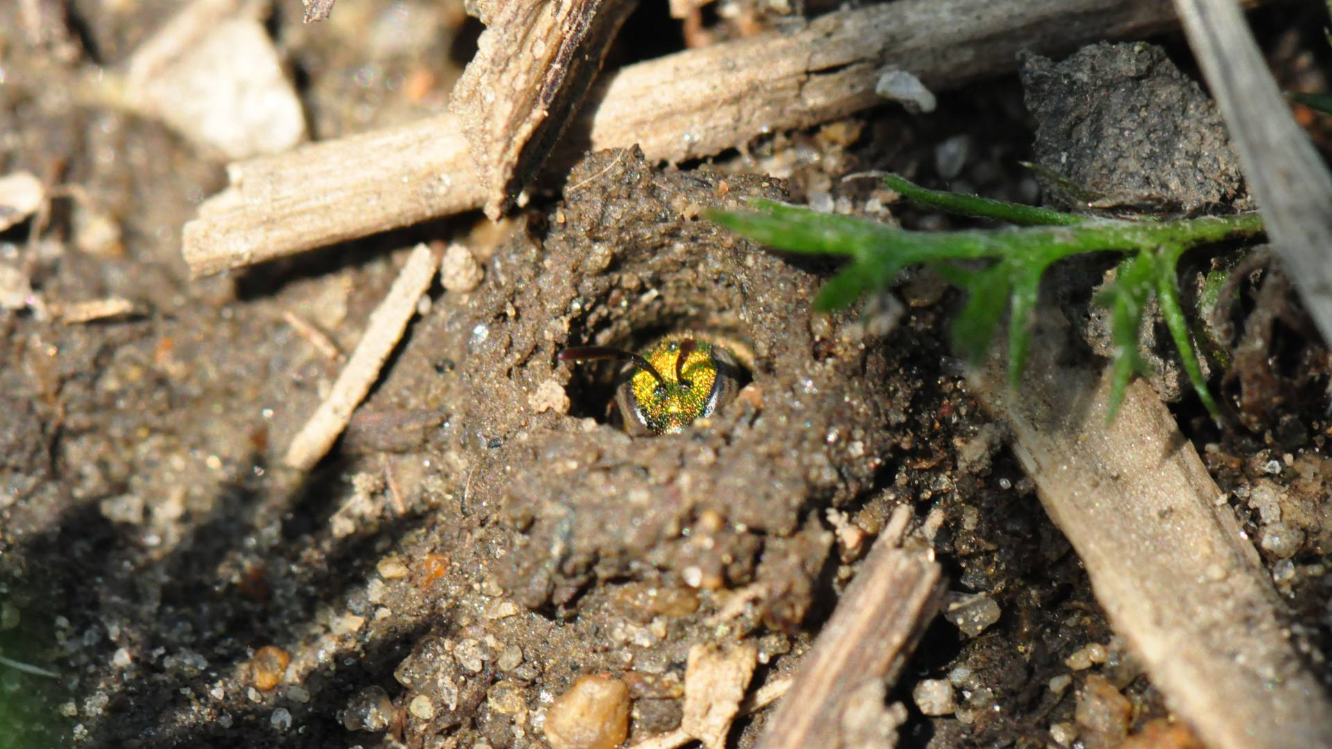 Рис. 2. И социальные, и одиночные Lasioglossum albipes устраивают гнезда в земле (www.princeton.edu)